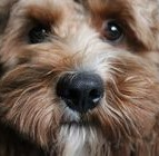 Cockapoo using maxxiomega omega oil for dogs to help with dog allergies