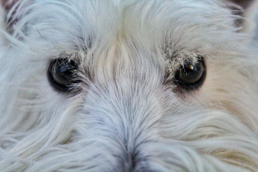 West Highland White Terrier are prone to dog allergies