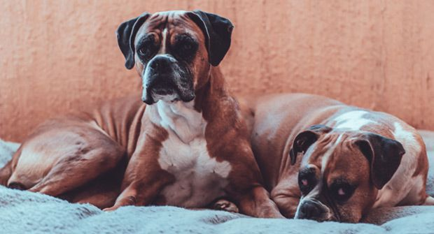 Dog allergy in dogs