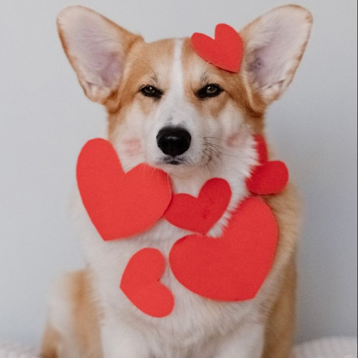 Dogs heart is prescious and maxxicardio supports your dogs heart health