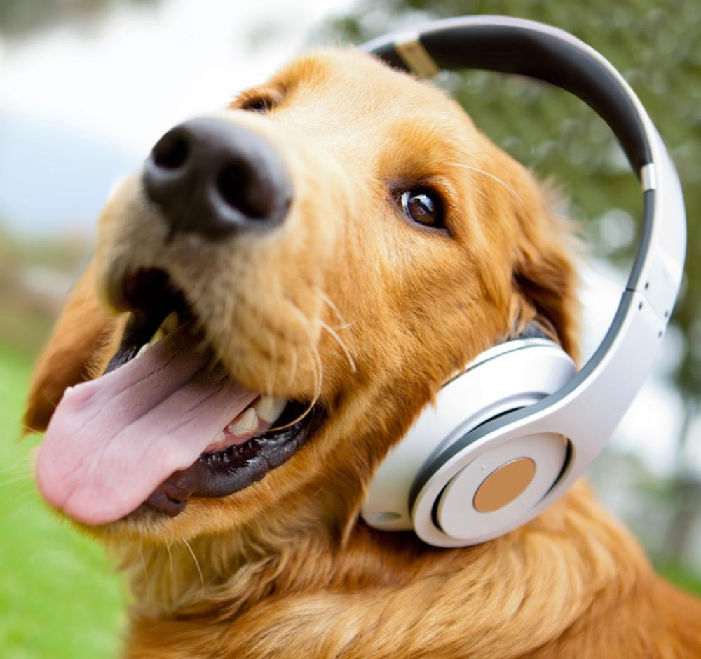 Dog afraid of noise with headphone