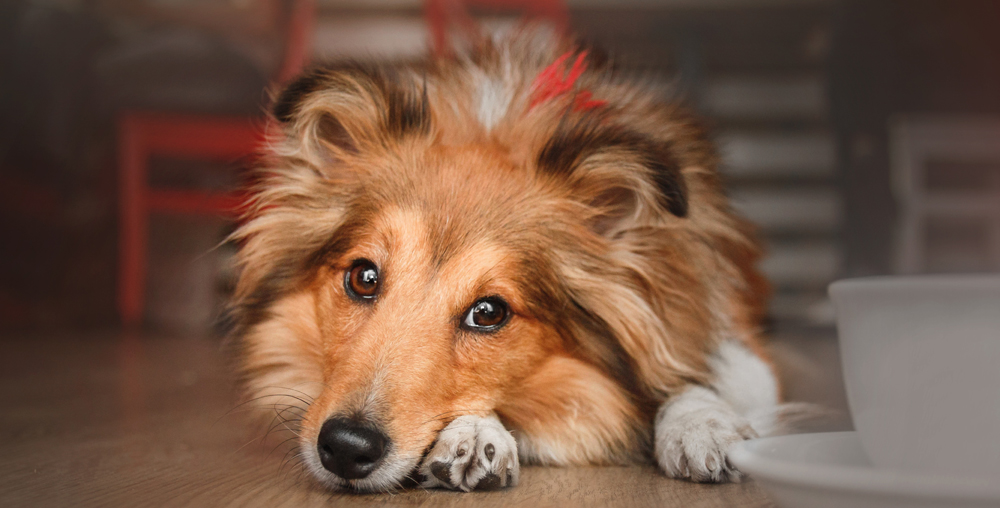 Collie dog with beautiful healthy skin and coat