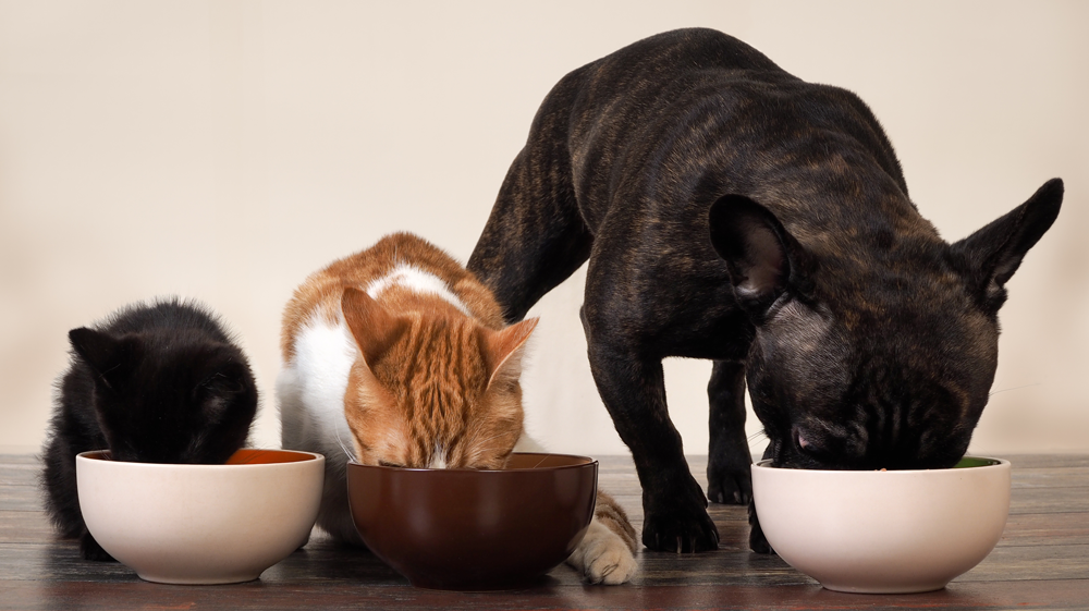 Dog and cats eating together